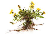 a dandelion plant with roots against a white background