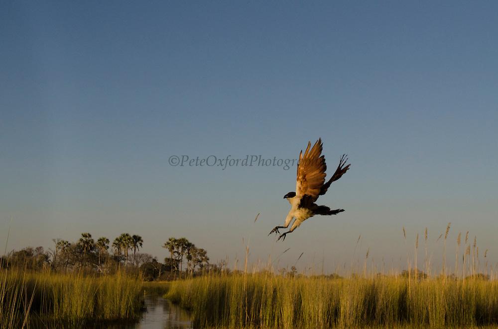 Coppery-tailed Coucal (Centropus cupreicaudus)<br /> Moremi Game Reserve, Okavango Delta<br /> BOTSWANA<br /> RANGE: Angola, Botswana, Democratic Republic of the Congo, Malawi, Namibia, Tanzania, Zambia, and Zimbabwe.