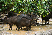 White-lipped Peccary (Tayassu pecari) at saltlick<br /> Yasuni National Park, Amazon Rainforest<br /> ECUADOR. South America<br /> HABITAT & RANGE: Tropics of Central and South America.