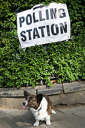 © Licensed to London News Pictures. 23/05/2019. London, UK. A corgi is seen sitting under a polling station sign in Haringey, north London during the European Parliament elections. Photo credit: Dinendra Haria/LNP