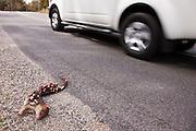 Spotted Tiger Quoll Road Kill - Tasmania
