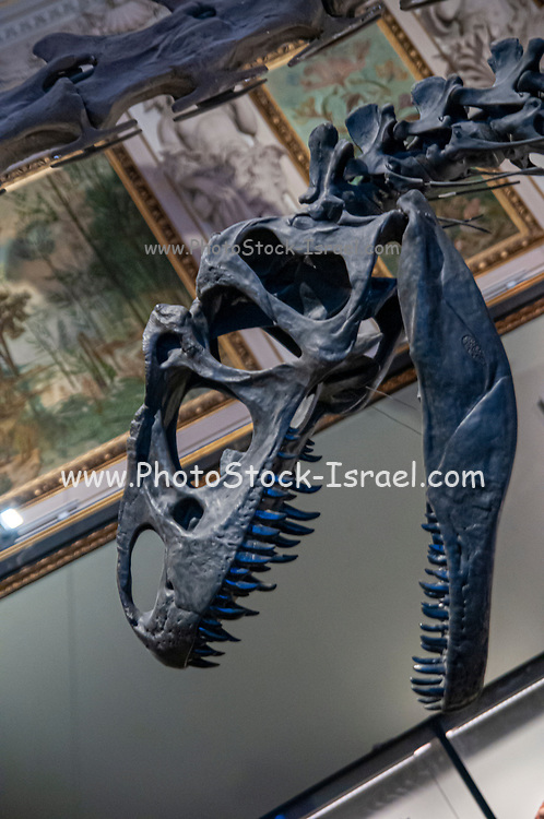 Skeleton of a Allosaurus fragilis.  Allosaurs were large carnivorous reptiles that lived during the late Jurassic period (155 to 145 million years ago). They were bipedal (two-legged) predators that averaged a height of 8.5 metres. Photographed at the Natural History Museum, Vienna, Austria