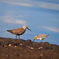 An adult dunlin (Calidris alpina) and semipalmated sandpiper (Calidris pusilla) forage together for horseshoe crab eggs on the shores of the Delaware Bay, Port Mahon, Delaware.