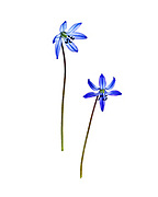 The flowers of Siberian Squill
