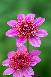 Dahlia FVDV86 -  light pink version of  'Blue Bayou'