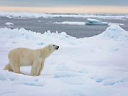 A polar bear (Ursus maritimus) walking on sea ice, Spitsbergen, Svalbard, Norway