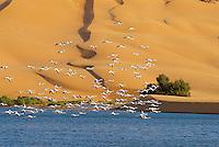 Maroc. Grand Sud. Laayoune. Desert et lagune dans les environs de la ville. oiseaux migrateurs. Flamands roses. Ancien Sahara espagnol. // Morocco. South Morocco. Laayoune. Desert an laguna around the city. Migratory bird. Pink flamish. Former Spanish Sahara.