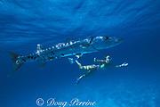 great barracuda, <br /> Sphyraena barracuda, and swimmer,<br /> Little Bahama Bank<br /> Bahamas ( Western Atlantic Ocean )