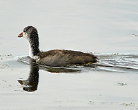 Immature American Coot (Fulica americana). Arapaho National Wildlife Refuge, Colorado. Image taken with a Nikon D300 camera and 80-400 mm VR lens.