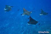 schooling spotted eagle rays, Aetobatus narinari, Ice Cream bommie, Saipan, Commonwealth of Northern Mariana Islands, Micronesia ( Western Pacific Ocean )