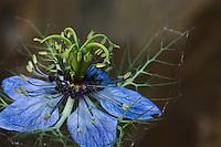 Love-in-a-mist (Nigella damascena). Hutovo Blato Nature Park. Bosnia-Herzegovina.<br /> Elio della Ferrera / Wild Wonders of Europe