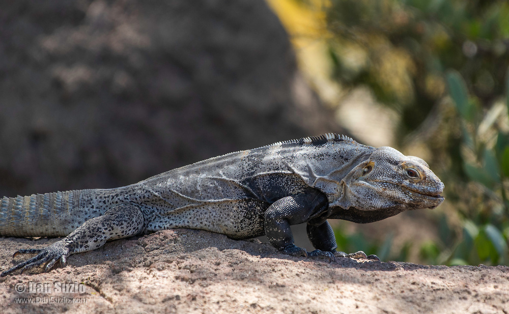 Sonoran Spiny-tailed Iguana, Ctenosaura macrolopha, a non-native species that has established a small population on the grounds of the Arizona-Sonora Desert Museum, near Tucson, Arizona