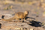 A red meerkat or yellow mongoose (Cynictis penicillata) sitting on a log, Okavango Delta, Moremi, Botswana