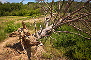 fallen tree in the Pionierbecken 2 in the Koenigsforest near Cologne, North Rhine-Westphalia, Germany. The Pionierbecken (pioneer ponds) are former gravel pits.<br /> <br /> umgestuerzter Baum im Pionierbecken 2 im Koenigsforst bei Koeln, Nordrhein-Westfalen, Deutschland. Die Pionierbecken sind ehemalige Kiesgruben.
