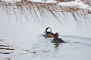 A pair of hooded mergansers trail a gentle wake as they swim in Eastham.