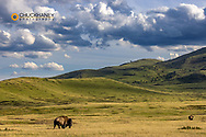 Bison bulls grazing at the National Bison Range in Moiese, Montana, USA