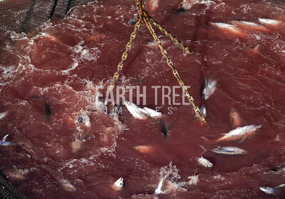 A purse seiner attached to a FAD catches a school of tuna in the Western Central Pacific, 16th October 2011. Photo: Paul HILTON / Greenpeace