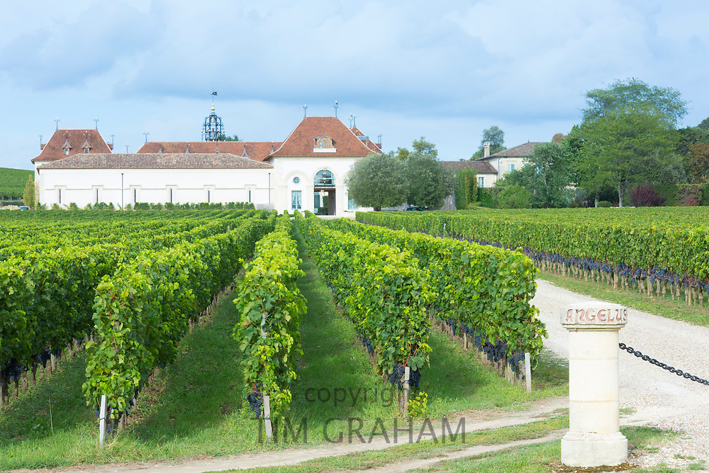 Chateau, grapes on vine at vineyard Chateau Angelus famous for luxury wine St Emilion Grand Cru, France