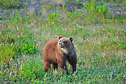 Young Grizzly bear (Ursus arctos) at edge of forest<br />