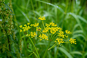 Photograph of Smooth meadow parsnip (Thaspium trifoliatum) growing near a wetland in Fitchburg, Wisconsin, USA.