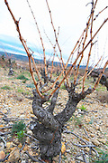 Mont Tauch Cave Cooperative co-operative In Tuchan. Fitou. Languedoc. Vines trained in Gobelet pruning. Old, gnarled and twisting vine. France. Europe. Vineyard.
