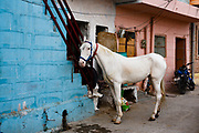 A white horse in a street in Jodhpur, India
