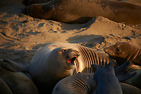 Elephant Seals at Piedras Blancas Beach, Central California Coast. Image taken with a Nikon D3x and 70-300 mm VR lens (ISO 360, 300 mm, f/8, 1/250 sec).