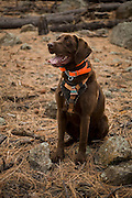 CJ, a chocolate lab working as a trained wildlife detector dog, sits to indicate he has located a bat roosting sites in an old ponderosa snag. Coconino National Forest, Arizona.