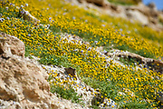 After a rare rainy season in the Judaea Desert and on the shores of the Dead Sea an abundance of wildflowers sprout out and bloom. Blooming Yellow Aaronsohnia factorovskyi Photographed Kidron valley, Judaean desert, West Bank Palestine Israel in March
