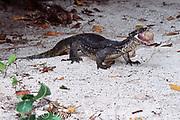 monitor lizard, Varanus sp., feeds on egg of green sea turtle, Chelonia mydas, Sipadan Island, Sabah, Malaysia ( Celebes Sea / Western Pacific Ocean )