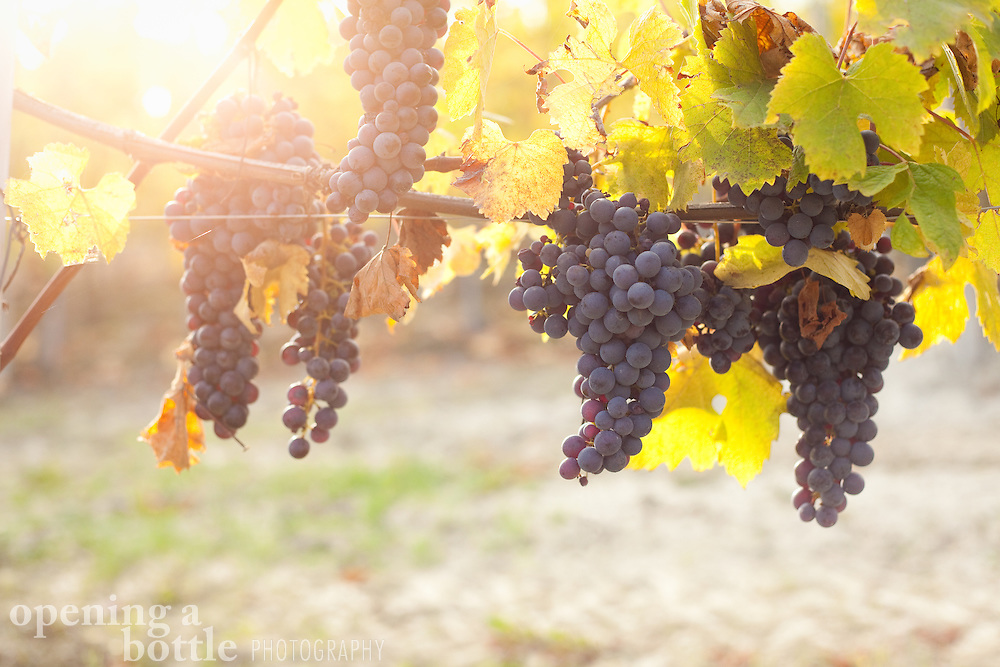 Nebbiolo grapes — the grape variety used to make Barolo and Barbaresco wine — hang from a vine during harvest season near La Morra (Piedmont), Italy.