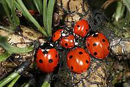 7 spot Ladybirds Coccinella septempunctata and 2 spot ladybirds Adalia bipunctata