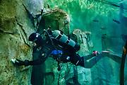 A diver cleans rock walls of a large tank at Oregon Coast Aquarium, Newport, Oregon, USA.