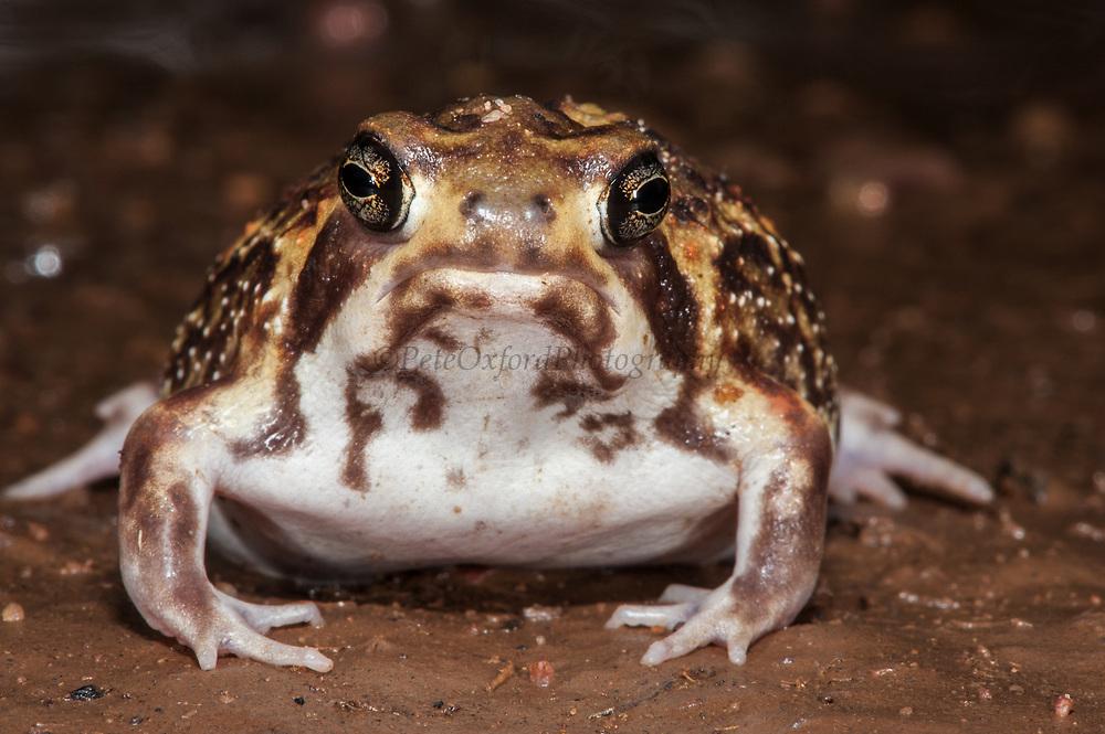 Bushveld rain frog (Breviceps adspersus adspersus)<br /> Marataba, A section of the Marakele National Park<br /> Limpopo Province<br /> SOUTH AFRICA<br /> HABITAT & RANGE: Sandy & sandy-loam soils of semi-arid savanna & grasslands