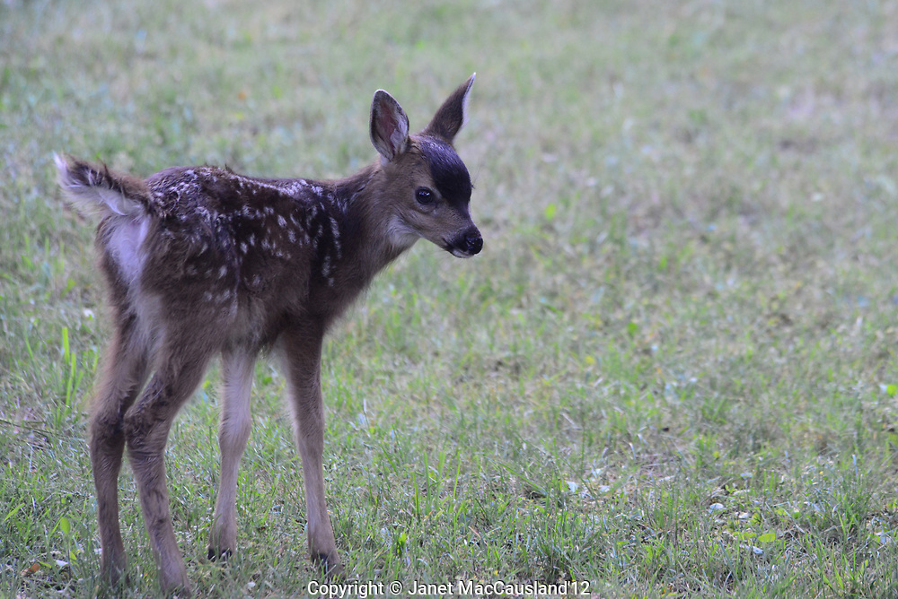 A newborn deer, barely standing, is not sure who or what I might be, in Vancouver Island, British Columbia, Canada.