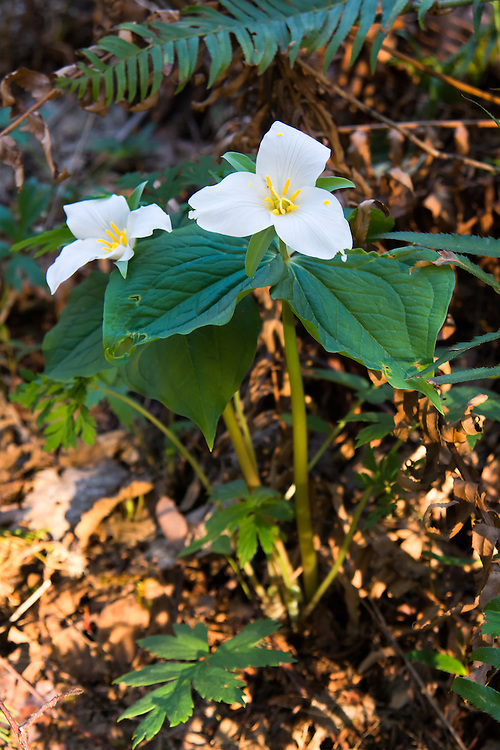 First pair of western trilliums of the year! These were found in Enumclaw, Washington at the foot of the Cascade Mountains growing in an old coniferous forest.