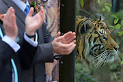 © Licensed to London News Pictures. 20/03/2013. London, UK. Jae Jae explores his enclosure. HRH The Duke of Edinburgh officially opens the £3.6m Tiger Territory. Tiger Territory, a £3.6m project, at ZSL London Zoo. It is home to Jae Jae and Melati, Europe's most genetically important pair of Sumatran tigers who were matched by the global breeding programme for the critically endangered species. Representing a wild population of just 300 individuals, Jae Jae and Melati travelled more than 14,000 miles from opposite ends of the earth to be paired at Tiger Territory. . Photo credit : Stephen Simpson/LNP