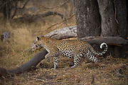 Leopard ((Panthera pardus) Female<br /> Moremi Game Reserve, Okavango Delta<br /> BOTSWANA<br /> RANGE: Sub-Saharan Africa. Fragmented populations in Pakistan, India, Sri Lanka, Indochina, Malaysia, and China.<br /> IUCN: Near Threatened