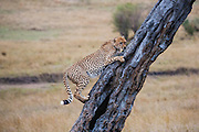 A male cheetah (Acinonyx jubatus) uncharacteristically climbs a tree to get a better view while scouting for prey, Masai Mara, Kenya,Africa