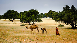 A Berber man with an adult camel and it's young amongst Argon trees, near Essaouirs, Morocco<br /> <br /> (c) Andrew Wilson | Edinburgh Elite media