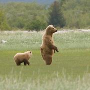Alaskan Brown Bear (Ursus middendorffi) Mother and cub. Katmai National Park. Alaska.