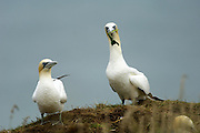 UK - Monday, Jul 14 2008: A pair of Northern Gannets (Morus bassanus) stand on the top of a cliff. Northern Gannets are seabirds in the family Sulidae and are closely related to the boobies. (Photo by Peter Horrell / http://www.peterhorrell.com)