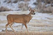 Post rut whitetail deer (Odocoileus virginianus)in Northwest Wyoming