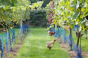 The vineyard at Will Gissane's Herefordshire home<br /> CREDIT: Vanessa Berberian for The Wall Street Journal<br /> HOBBY-Gissane/UK