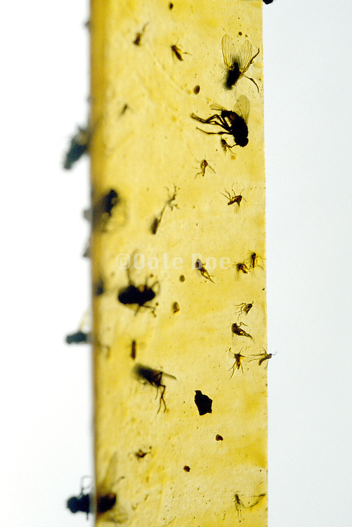 mosquitoes and flies on yellow glue patch