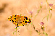 Cardinal butterfly (Argynnis pandora). This butterfly is common throughout southern Europe and is also found in northern Africa and western and central Asia. Photographed in Israel in June