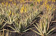 Aloe vera plants growing in field, Oliva, Fuerteventura, Canary Islands, Spain