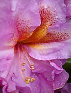 purple hybrid rhododendron flower