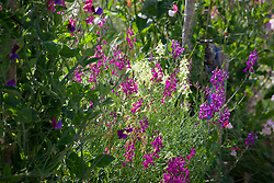 Linaria maroccana in the cutting garden. Baby Snapdragon, Toadflax