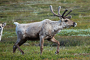 Caribou are large, wild, elk-like animals which live on lichen and vegetation above tree-line in arctic North America and Greenland. Photographed in Denali National Park, Alaska, USA. Reindeer and caribou look different, but they are probably the same species of deer (Rangifer tarandus) which are well adapted to Arctic and Subarctic regions. Both sexes grow antlers, which are typically larger in males. Reindeer are well known from the Christmas myth where flying reindeer pull Santa Claus's sleigh, as popularized since the early 1800s in America. Reindeer are slightly smaller and were domesticated in northern Eurasia about 2000 years ago. Today, reindeer are herded by many Arctic peoples in Europe and Asia including the Sami in Scandinavia and the Nenets, Chukchi, and others in Russia. Reindeer and caribou have unique hairs which trap air for excellent insulation and flotation for swimming cold rivers.